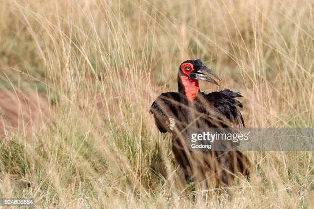 Southern ground hornbill Masai Mara game reserve Kenya