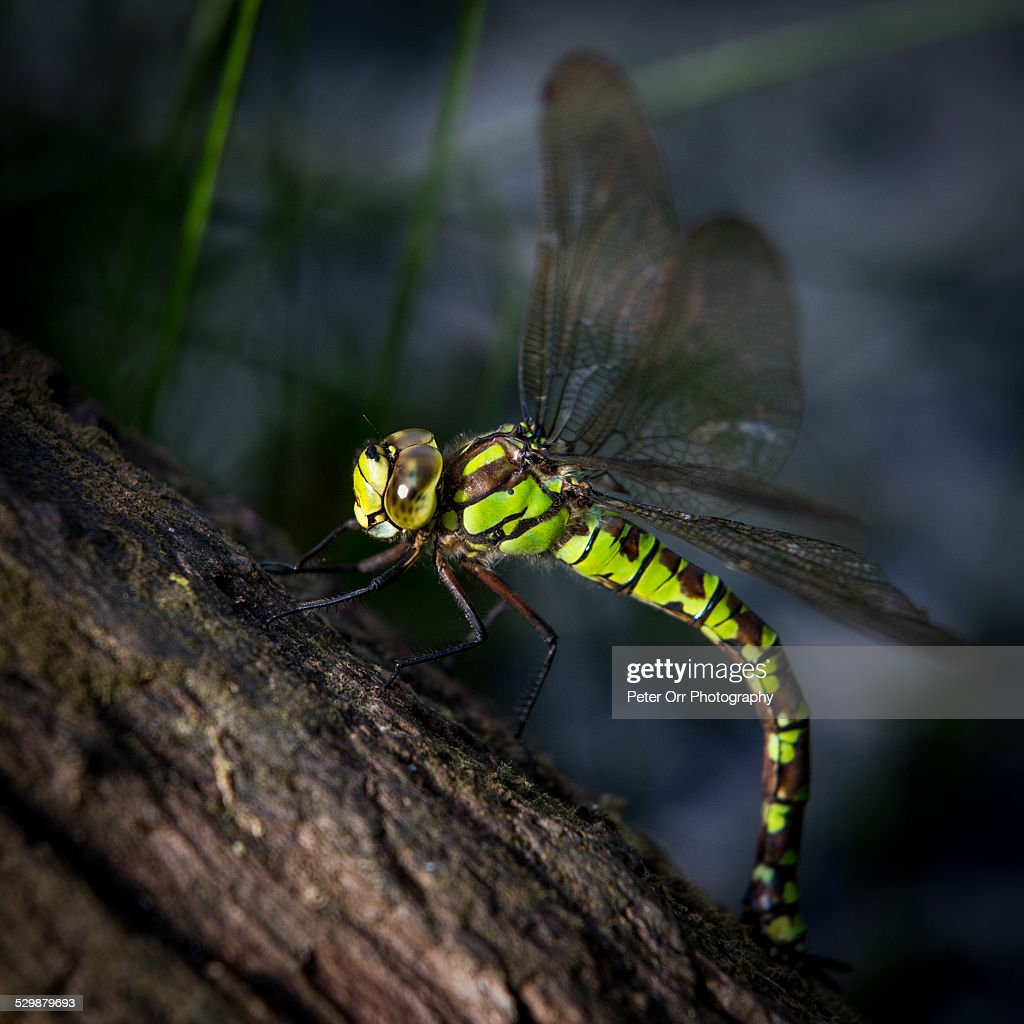 Southern Hawker Dragonfly : Stock Photo