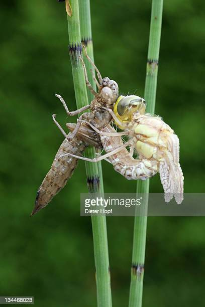 Southern Hawker or Blue Darner (Aeshna cyanea), dragonfly hatching from the larvae skin or exuvia, Allgaeu, Bavaria, Germany, Europe