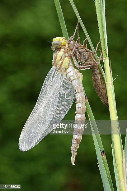 Southern Hawker or Blue Darner (Aeshna cyanea), dragonfly hatching from the larvae skin or exuvia, stretching body and wings, Allgaeu, Bavaria, Germany, Europe