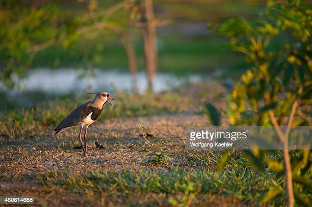 Southern lapwing along the Cuiaba River near Porto Jofre in the northern Pantanal, Mato Grosso province in Brazil.