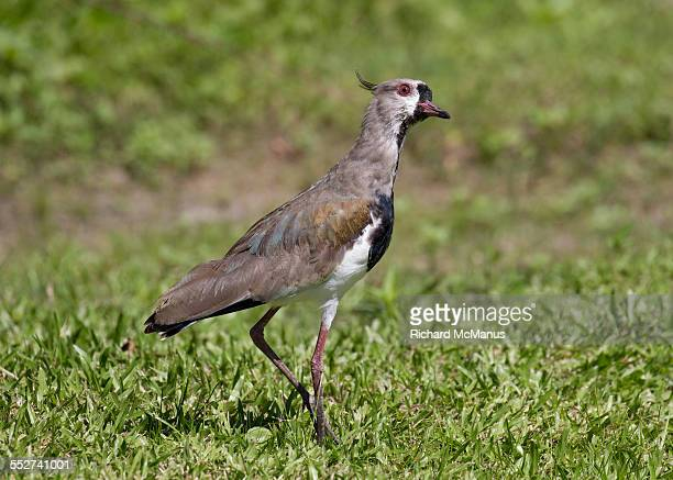 southern lapwing in grass. - posadas stock pictures, royalty-free photos & images