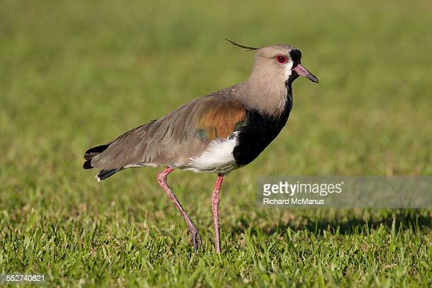 southern lapwing in ibera wetlands - posadas stock pictures, royalty-free photos & images
