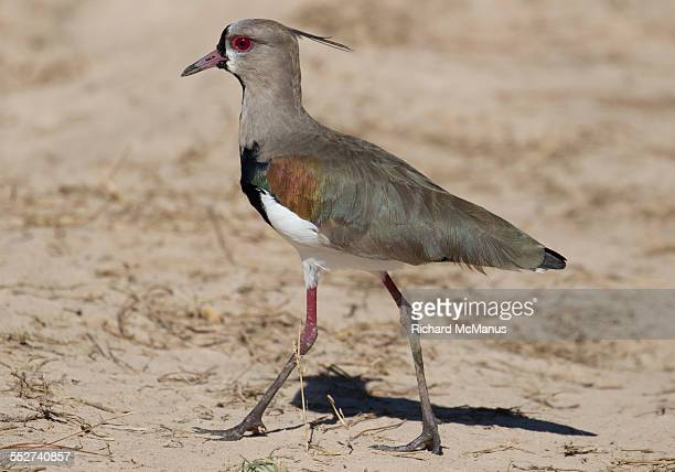 southern lapwing on dirt. - posadas stock pictures, royalty-free photos & images