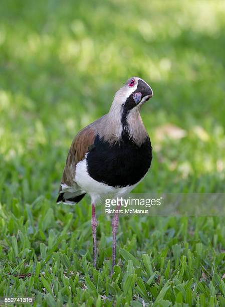 southern lapwing with head cocked. - posadas stock pictures, royalty-free photos & images