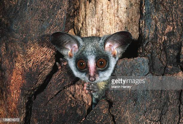southern lesser bushbaby, galago moholi, sometimes uses tree holes for shelter, southern central africa. - bush baby stock photos and pictures