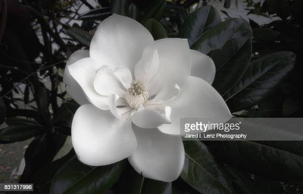 southern magnolia blooms - tulip tree stock photos and pictures