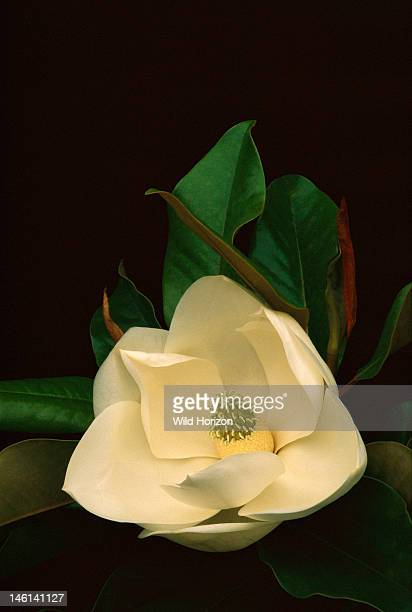 Southern magnolia flower Magnolia grandiflora This tree has adapted well to southern California's maritime climate Buena Park California USA...