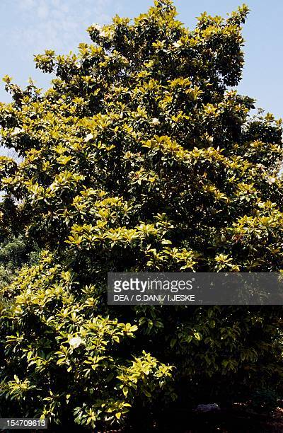 Southern magnolia Magnoliaceae