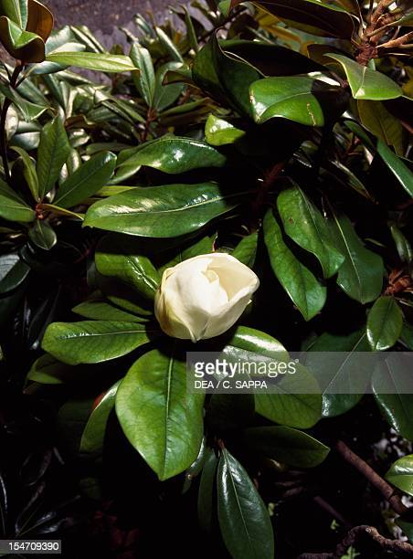 Southern magnolia or Bull bay leaves and flowers Magnoliaceae