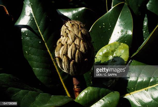 Southern magnolia or Bull bay leaves and fruit Magnoliaceae
