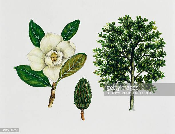 Southern magnolia or Bull bay Magnoliaceae tree leaves and fruit illustration