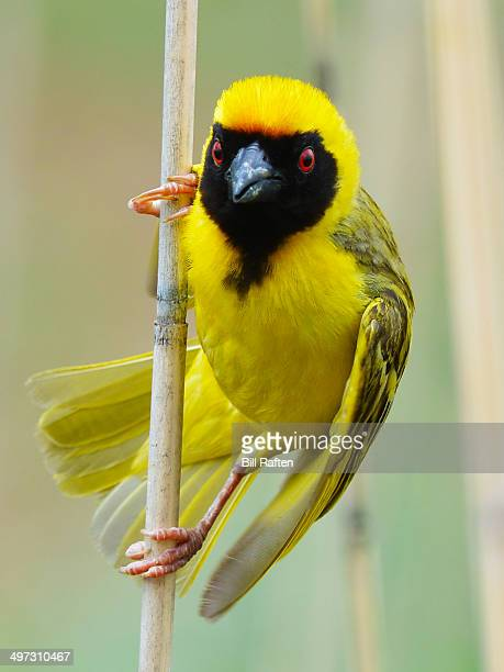 southern masked weaver looking for a wasp - african wasp stock pictures, royalty-free photos & images