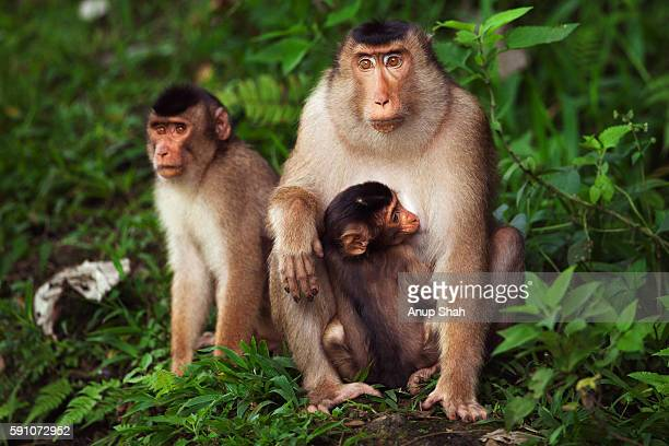 Southern or Sunda Pig-tailed macaque female sitting with her suckling baby and an older juvenile