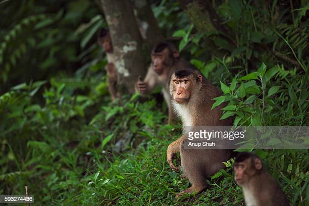 Southern or Sunda Pig-tailed macaque group