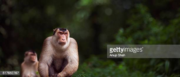 Southern or Sunda Pig-tailed macaque mature male