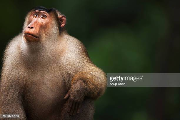 Southern or Sunda Pig-tailed macaque mature male portrait