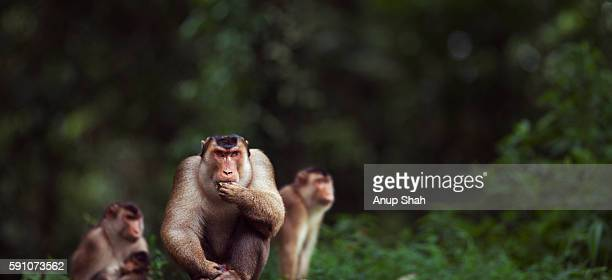 Southern or Sunda Pig-tailed macaque mature male sitting with his group