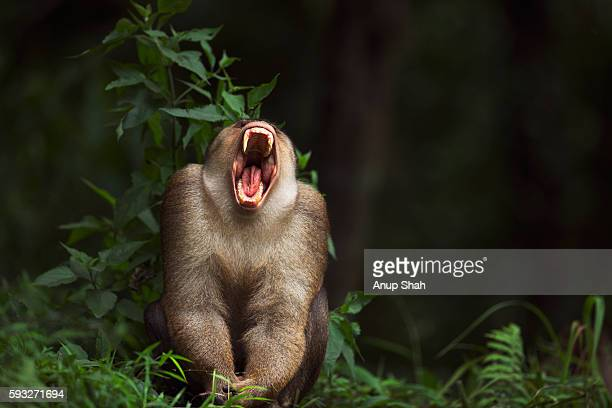 Southern or Sunda Pig-tailed macaque mature male yawning - portrait