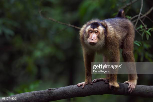 Southern or Sunda Pig-tailed macaque young male making threat gestures
