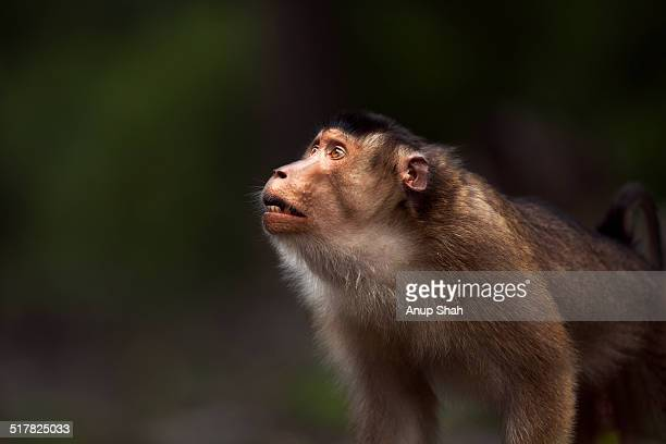 Southern or Sunda Pig-tailed macaque young male
