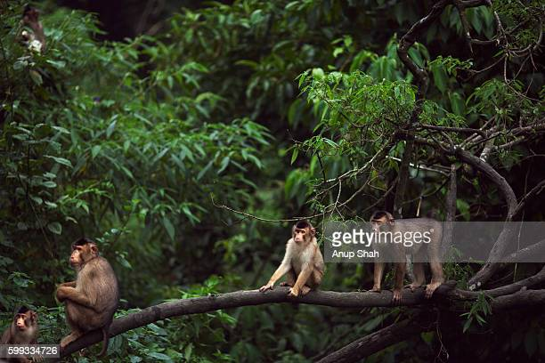 Southern or Sunda Pig-tailed macaques sitting in a tree
