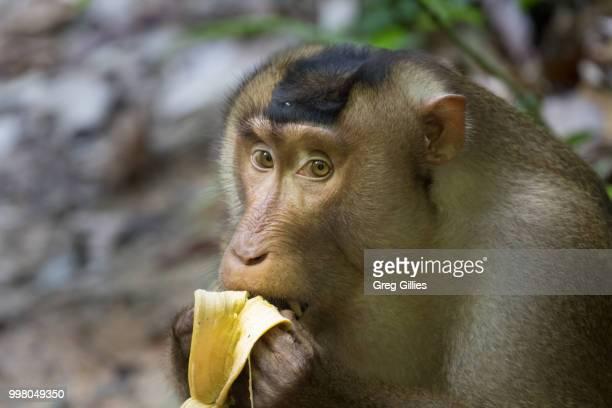 Southern pig-tailed macaque (Macaca nemestrina) eating a banana