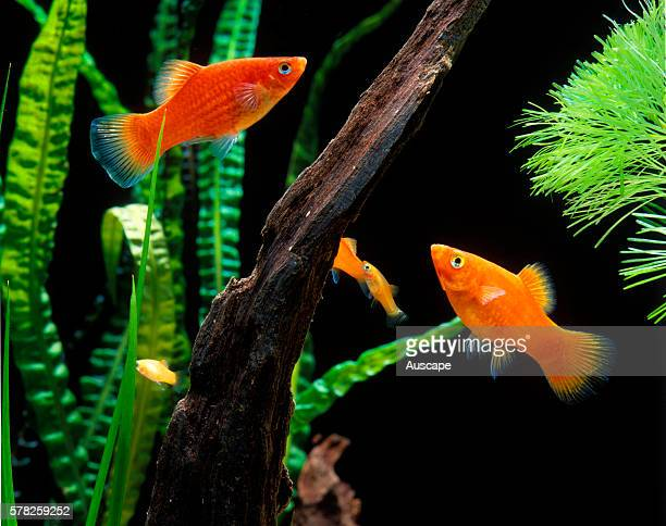 Southern platyfish Xiphophorus maculatus freshwater fish popular aquarium species originally from North and Central America a potential pest Native...