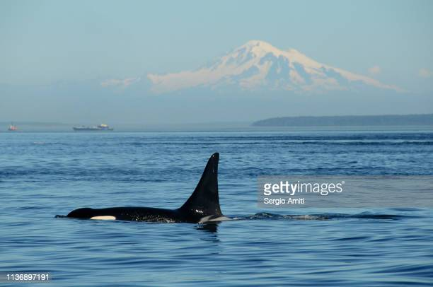 southern resident killer whale with mt baker - puget sound stock pictures, royalty-free photos & images
