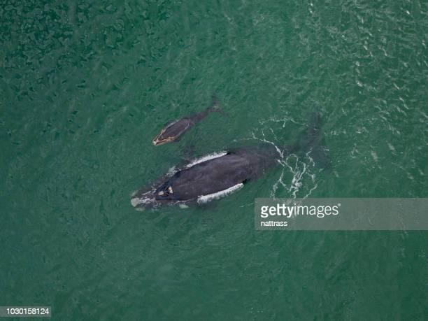 zuidelijke recht walvis en haar kalf - noord stockfoto's en -beelden