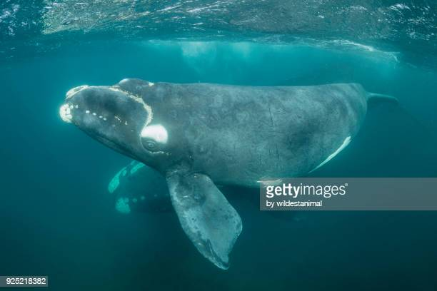 southern right whale calf, nuevo gulf, valdes peninsula. - callus stock photos and pictures