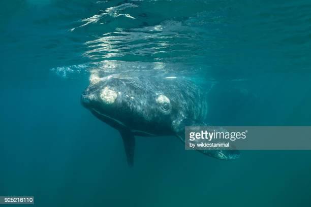 southern right whale calf swimming at the surface, nuevo gulf, valdes peninsula. - duroni foto e immagini stock