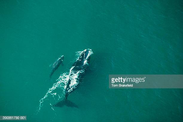 southern right whale cow with calf, aerial view, argentina - female animal stock pictures, royalty-free photos & images
