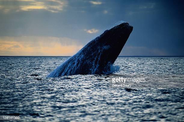 southern right whale, eubalaena australis, breaching, valdes peninsula