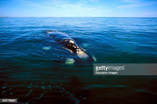 Southern Right Whale Eubalaena australis on the water surface they reach a length of up to 18 meters and live in the waters around the South Pole...