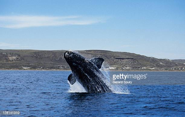 southern right whale, eubalaena australis,breaching, valdes peninsula