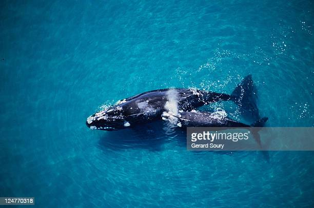 southern right whale, eubalaena australis,mother and calf, valdes penins