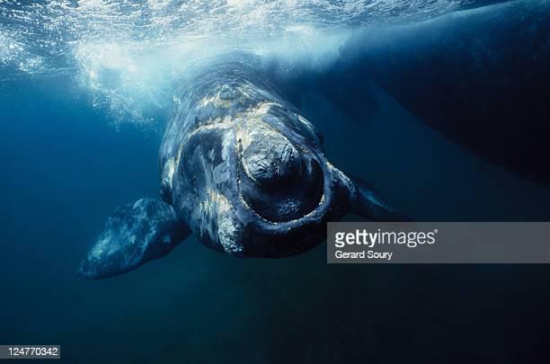 southern right whale, eubalaena australis,under surface,peninsula valdes