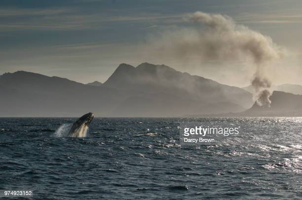 southern right whale (eubalaena australis) jumping out of sea, hermanus, western cape, south africa - wal stock-fotos und bilder