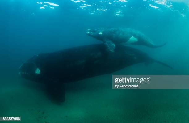 southern right whale mother and her calf in shallow water, nuevo gulf, patagonia, argentina. - duroni foto e immagini stock