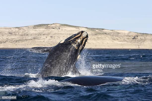 Southern Right whaleEubalaena australisCalf breaching while traveling alongside its mother Off Puerto Piramide Valds Peninsula Chubut Province...