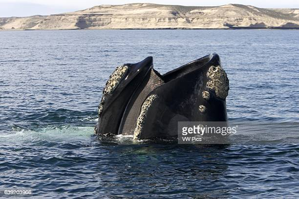Southern Right WhaleEubalaena australisStanding vertically in the water with mouth partly open showing baleen plates Valdes Peninsula Province Chubut...