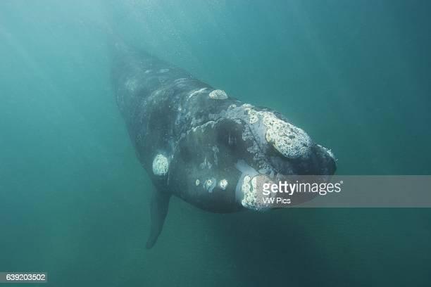 Southern Right WhaleEubalaena australisValdes Peninsula Province Chubut Patagonia Argentina