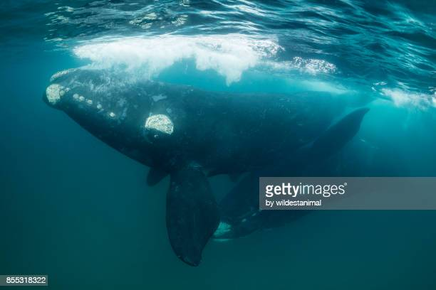 Southern right whales mating at the surface, Nuevo Gulf, Peninsula Valdes, Argentina.