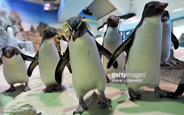 Southern Rockhopper Penguin are pictured at the new Polar World at Hellabrunn Zoo in Munich, southern Germany, on March 26, 2013. AFP PHOTO / FRANK...