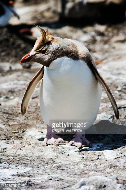 Southern rockhopper penguin carrying a genetic mutation , Spheniscidae, north-east coast of Pebble Island, Falkland or Malvinas Islands .