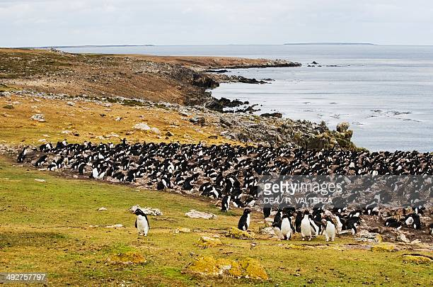 Southern rockhopper penguin colony , Spheniscidae, north-west coast of Pebble Island, Falkland or Malvinas Islands .
