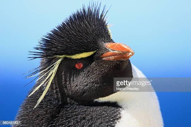 Southern Rockhopper Penguin, Falkland Islands