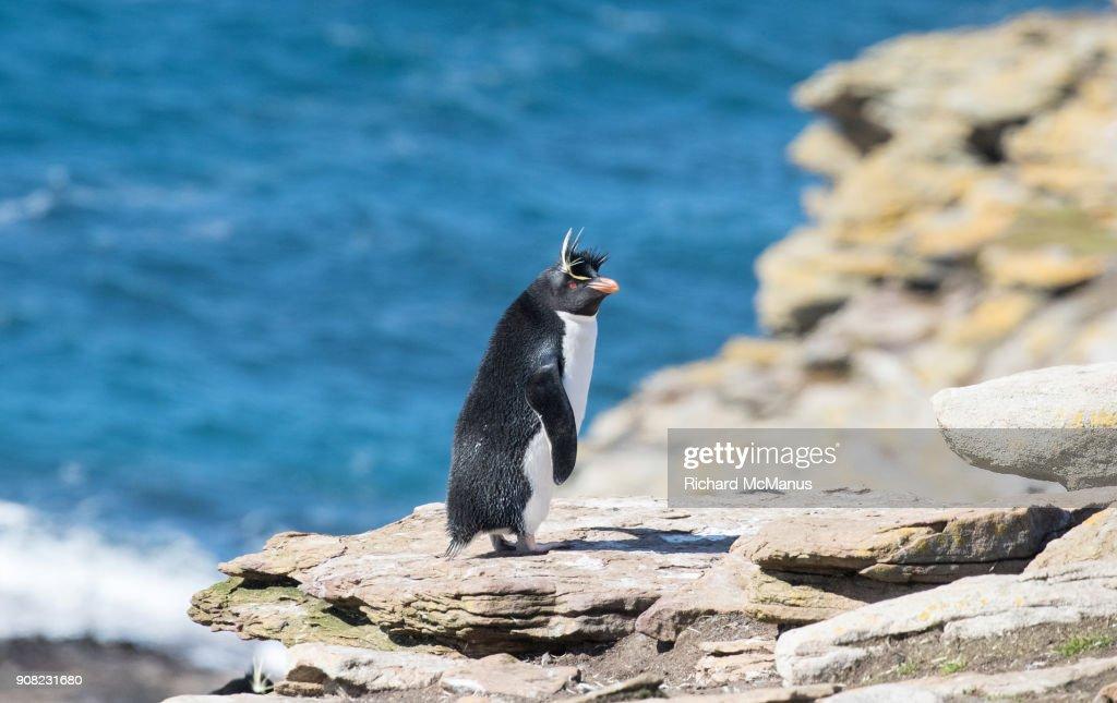 Southern Rockhopper penguin on Saunders Island. : Stock Photo