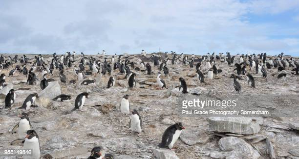 southern rockhopper penguins eudyptes chrysocome - rockhopper penguin stock pictures, royalty-free photos & images